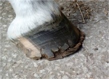 Hoof with Vitamin A Deficiency
