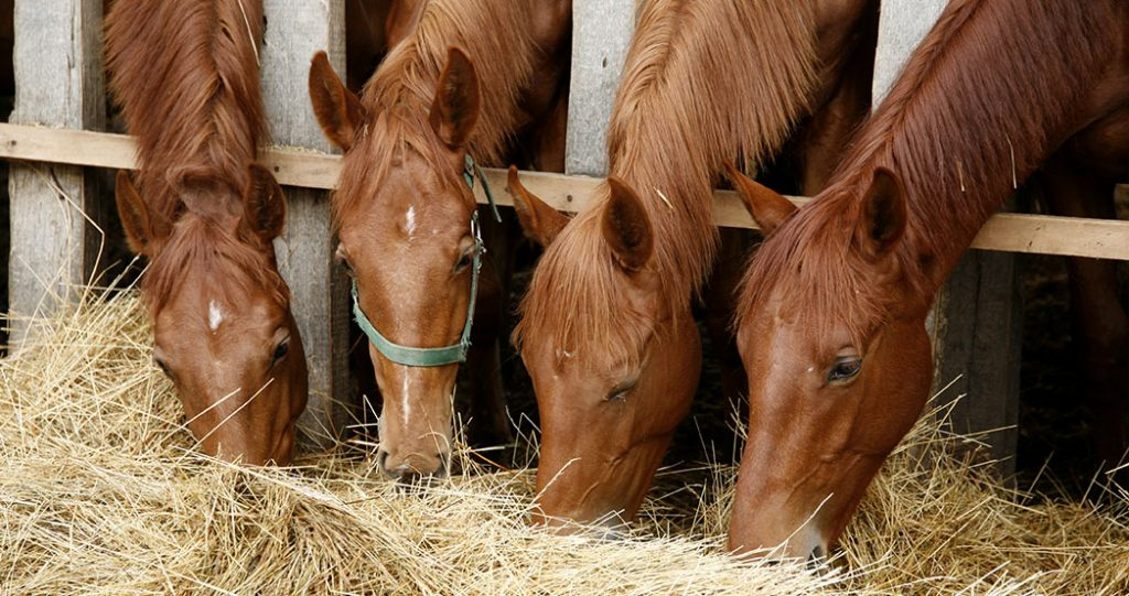 Young horses sharing hay