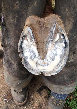 Horse Hoof with White Line Disease