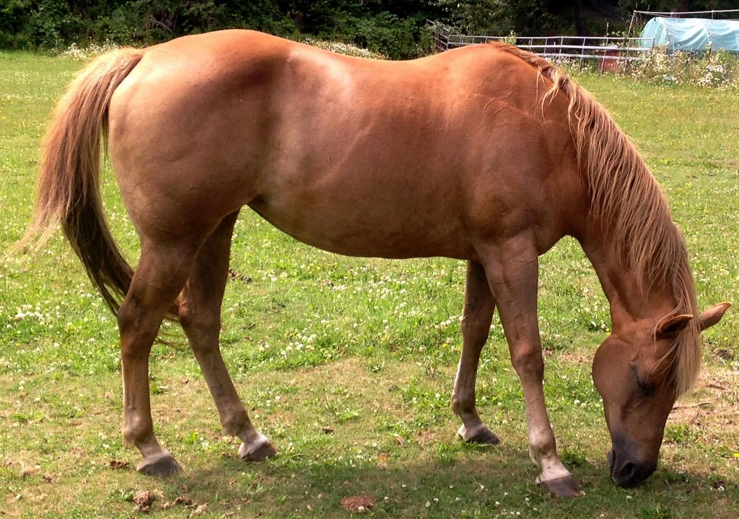 Horse with Abscesses